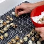 Разложение перепелиных яиц для последующего выведения