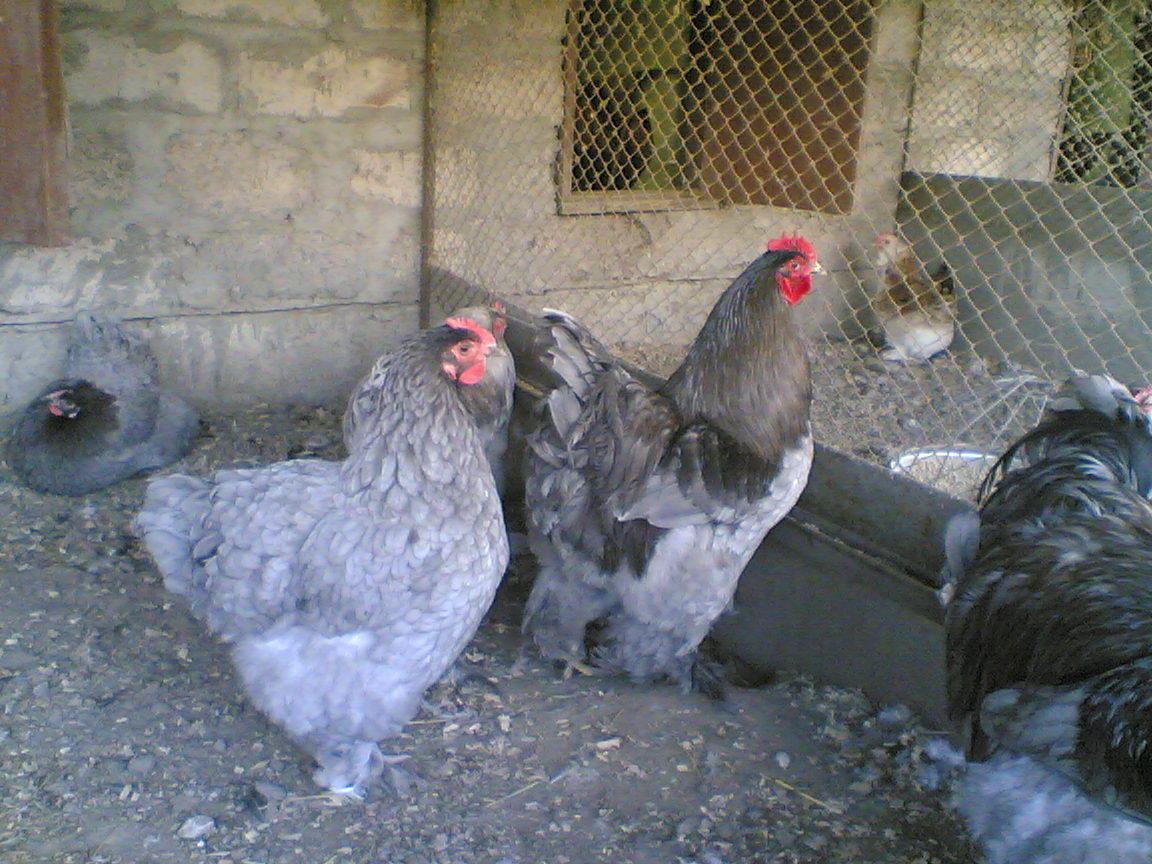 Домашние птицы кохинхин