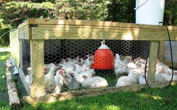 Содержание цыплят бройлеров летом