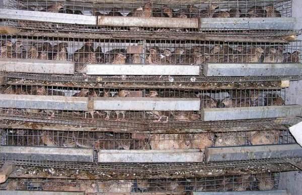 Клетки на перепелиной ферме