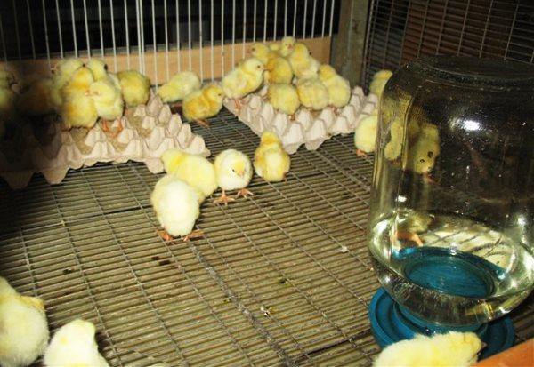 Рацион для цыплят при откорме на мясо