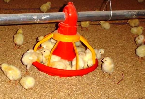 Напольное содержание бройлерных цыплят