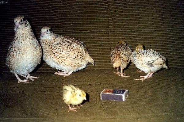 Самки и цыплята маньчжурской разновидности