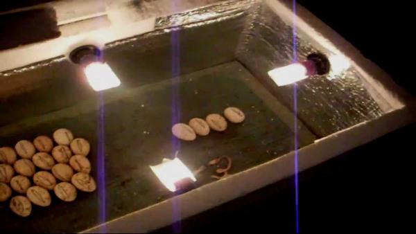 Яйца в аппарате для искусственного выведения перепелов