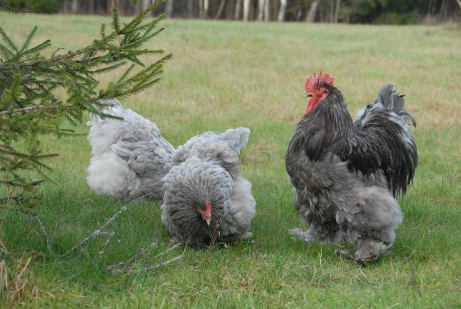 Кохинхинская порода птиц