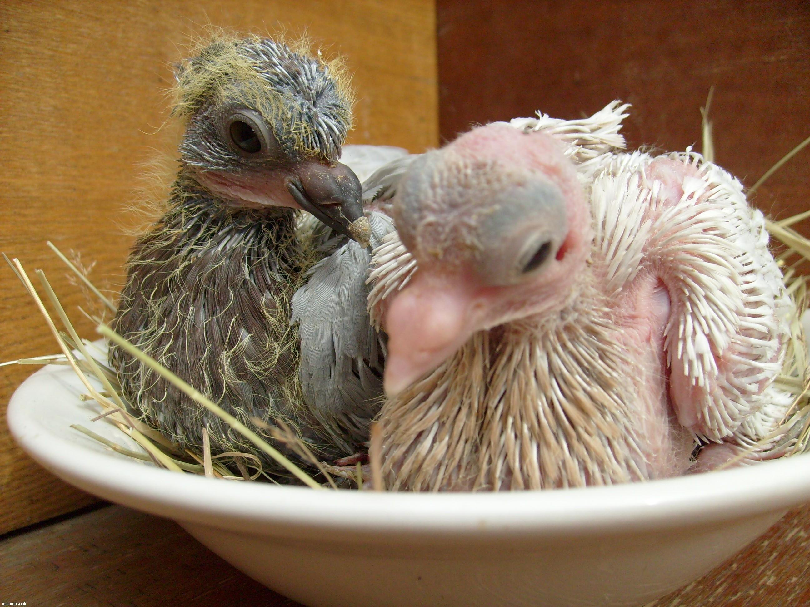 Птенец голубя, птенцы голубей, маленькие голуби (фото и видео)