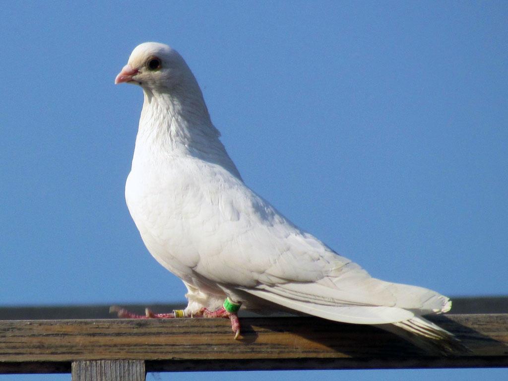 Фото здорового голубя белого цвета
