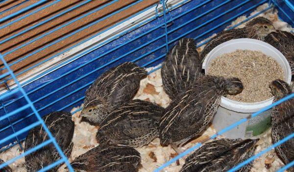 Домашние птицы японской разновидности