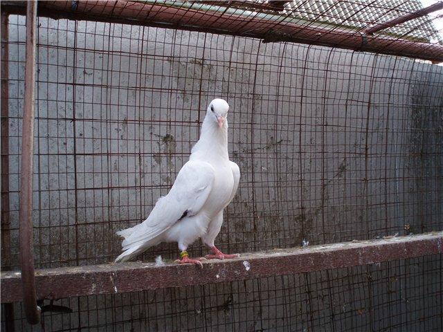 Пакистанский белый высоколетний голубь