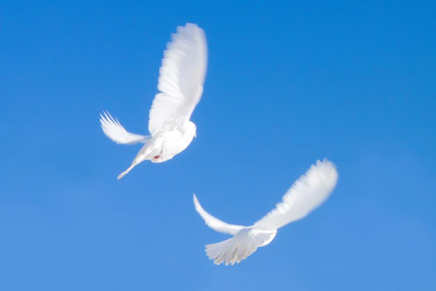Белые голуби в полете