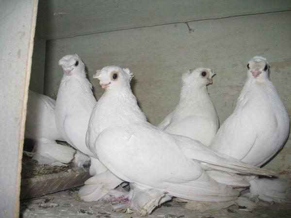 Белые короткоклювые узбекские голуби