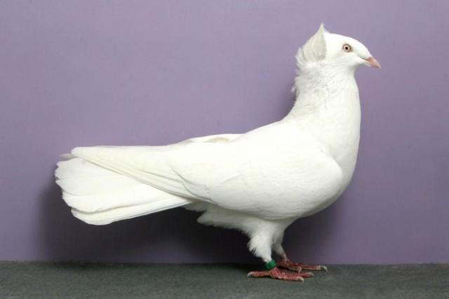 Фото пакистанского высоколетного голубя