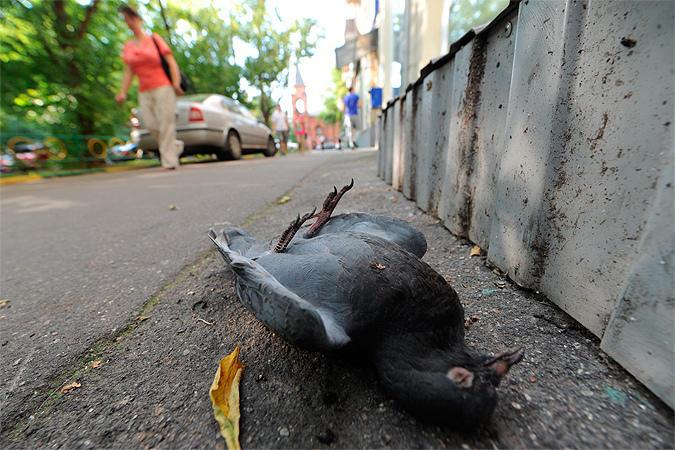 Мертвый голубь от сальмонеллеза