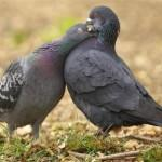 Два голубя серого цвета