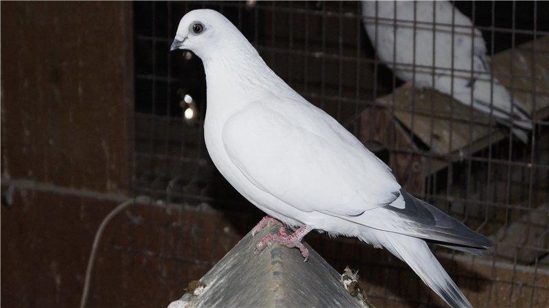 Будапештский голубь белого цвета