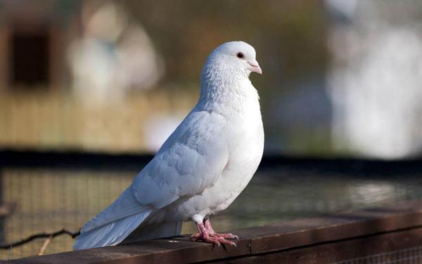 Фото бельгийского голубя белого окраса