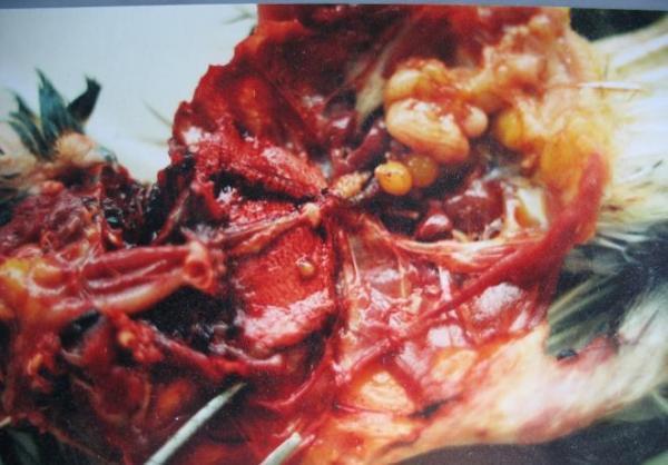Аспергиллез - грибок во внутренностях перепелки