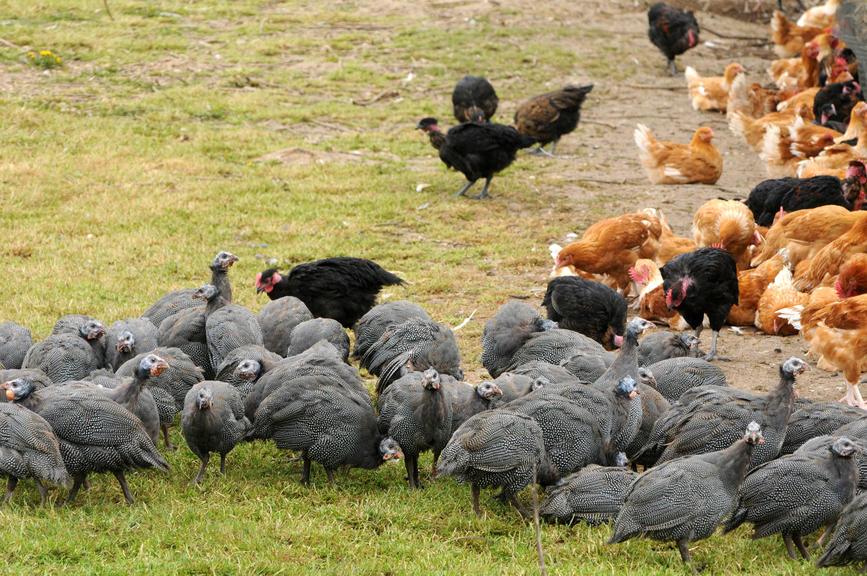 Серые цесарки и курицы на траве
