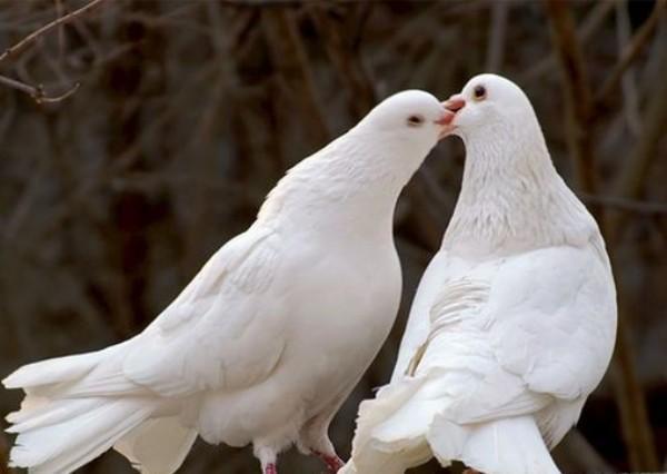 Белый голубь и голубка целуются