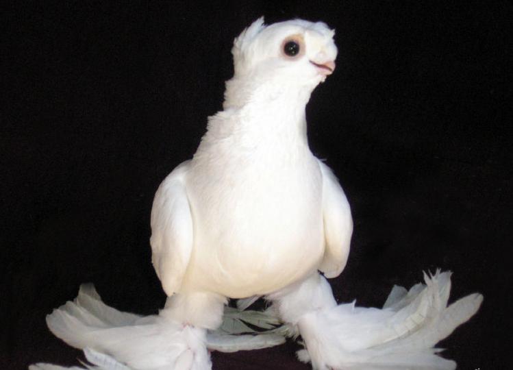 Фото бойного узбекского голубя