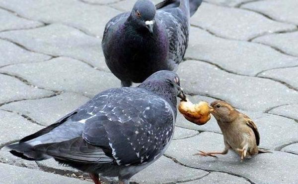 Уличный голубь ест хлеб