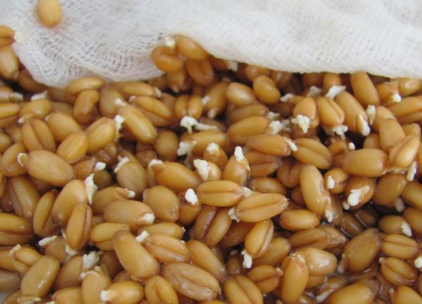 Фото пророщенного зерна пшеницы