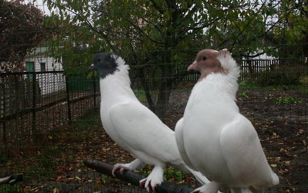 Иранские высоколетные щекатые голуби