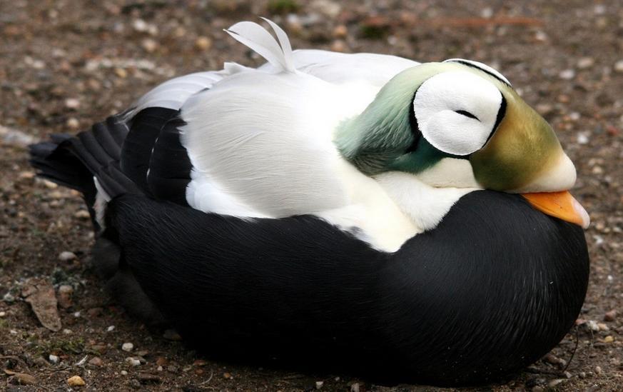 Фото очковой утки Гаги