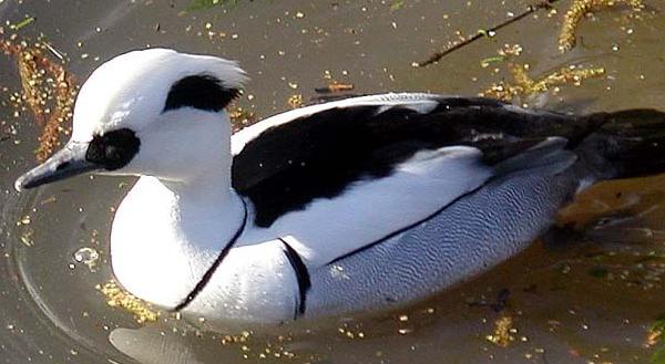 Фото утки луток в воде