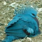 голубой голубь венценосный