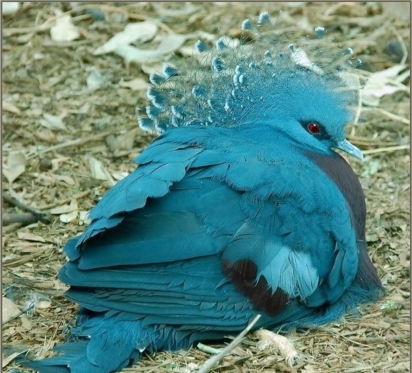 Описание Венценосного голубя, обзор породы с фото