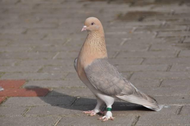 Разноцветный иранский бойный голубь