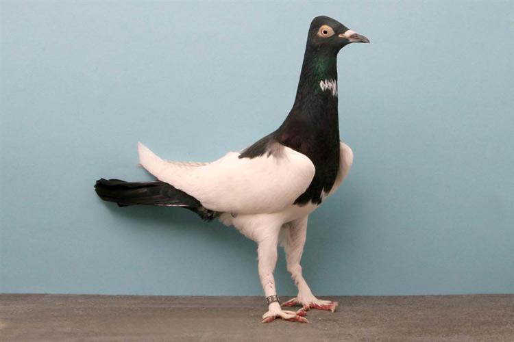 Берлинский длинноклювый голубь окраса «сорока»
