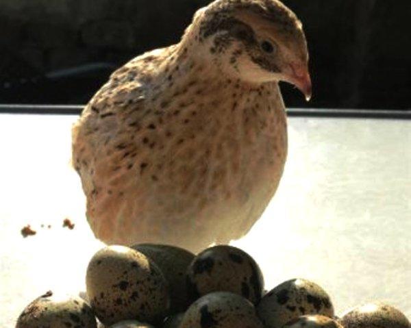 Перепел сидит на яйцах