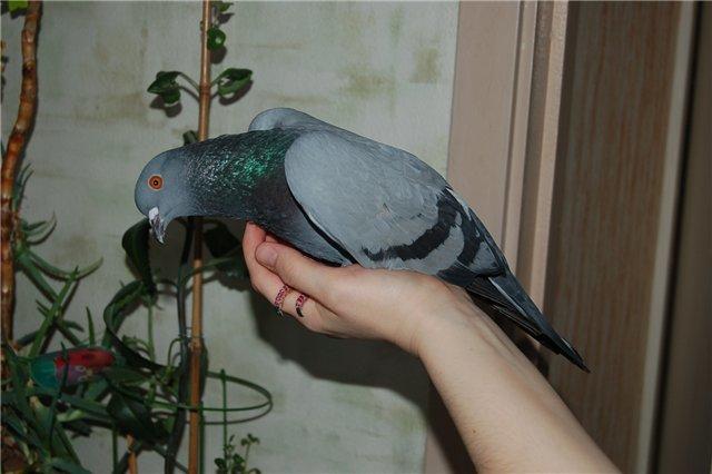 Фото истощенного голубя в руке
