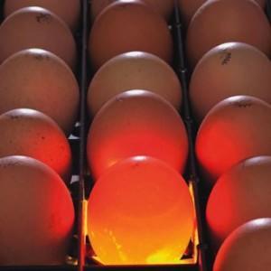 Яйца цесарки во время просвечивания