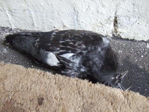 Фото голубя, лежащего на спине