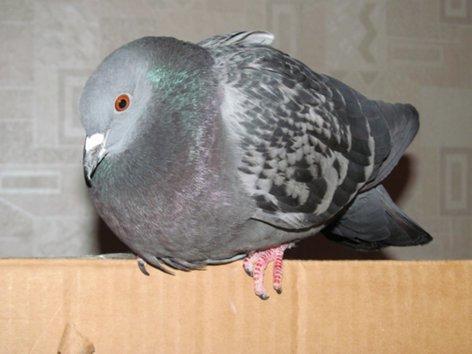 Серый голубь на картонной коробке