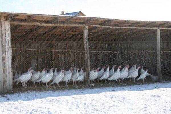 Белые цесарки под навесом