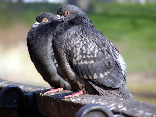 Да серых голубя сидят на заборе