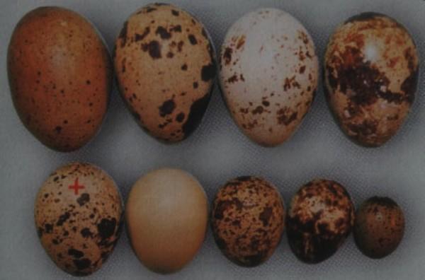 Размеры перепелиных яиц