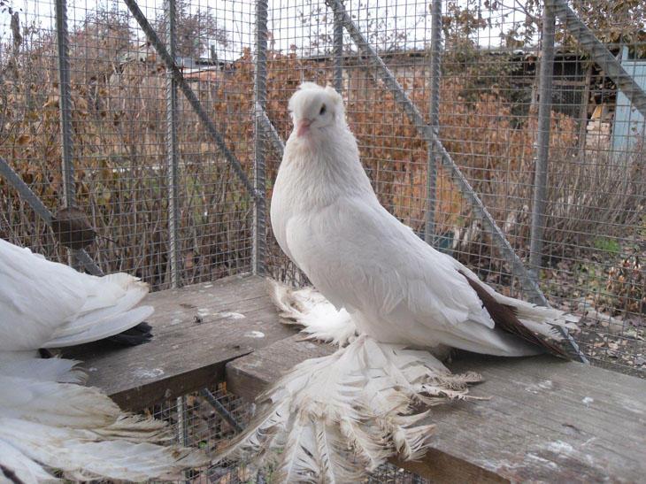 Фото северокавказского бойного голубя