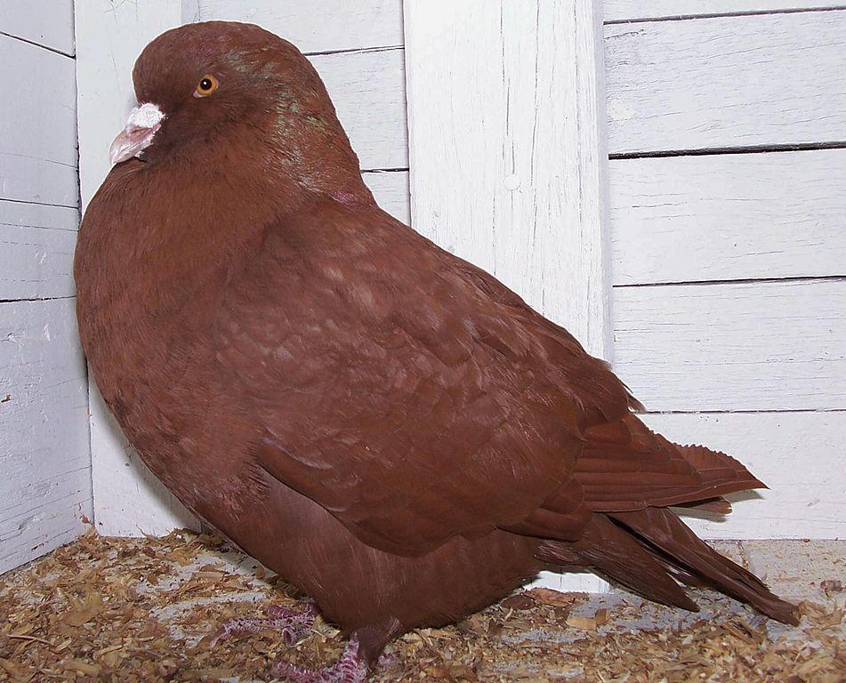Мясной голубь породы карно
