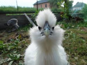 Голова синекожей китайской курицы