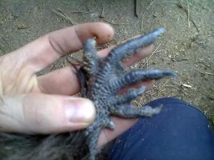 Лапа синекожей курицы в руке