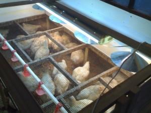 Клетка с цыплятами под лампой дневного света
