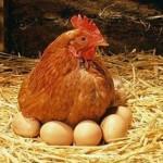 Фото куры на яйцах