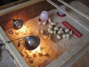 Фото клетки с цыплятами, которая обогревается лампой