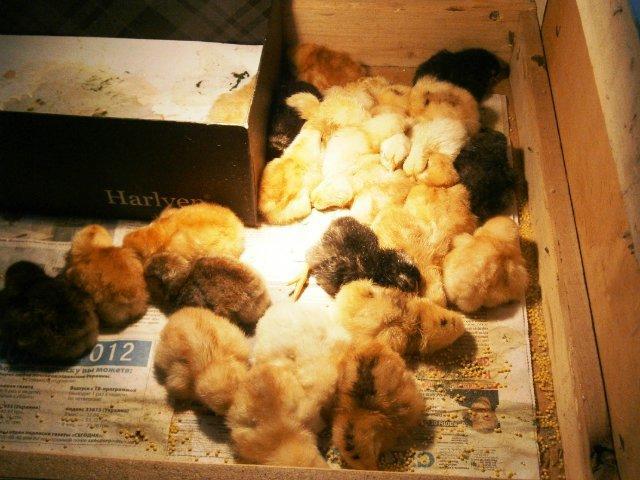 выведение цыплят в инкубаторе в домашних условиях видео инструкция - фото 3