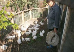 Кормление бройлерных цыплят на прогулочной площадке